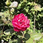 троянди спекотного червня